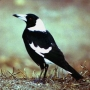 magpies wife
